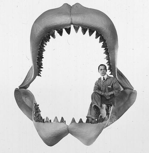 585px-Carcharodon_megalodon